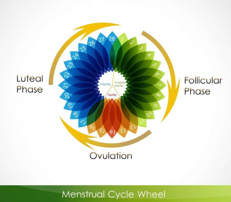 10506472 - menstrual cycle calendar. follicular phase, ovulation, luteal phase
