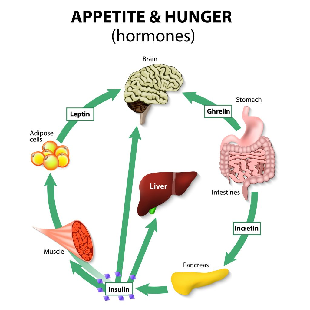Leptin & Ghrelin – The 2 Key Hunger Hormones